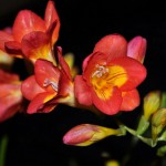 elopment tuscany Freesia Innocent beauty, Friendship