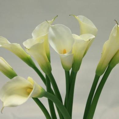 The Cala Lilly : Magnificence and Rebirth